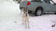 Потеряна собака! Белая лайка с коричневыми пятнами! Ошейник зеленый!