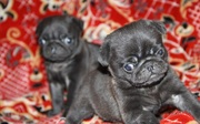 Мопс щенки доступны. Исключительные качества собаки
