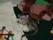 арегистрированные мужского и женского обезьян-капуцинов