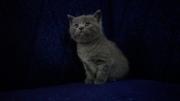 Продаются котята скоттиш-страйт и скоттиш-фолд
